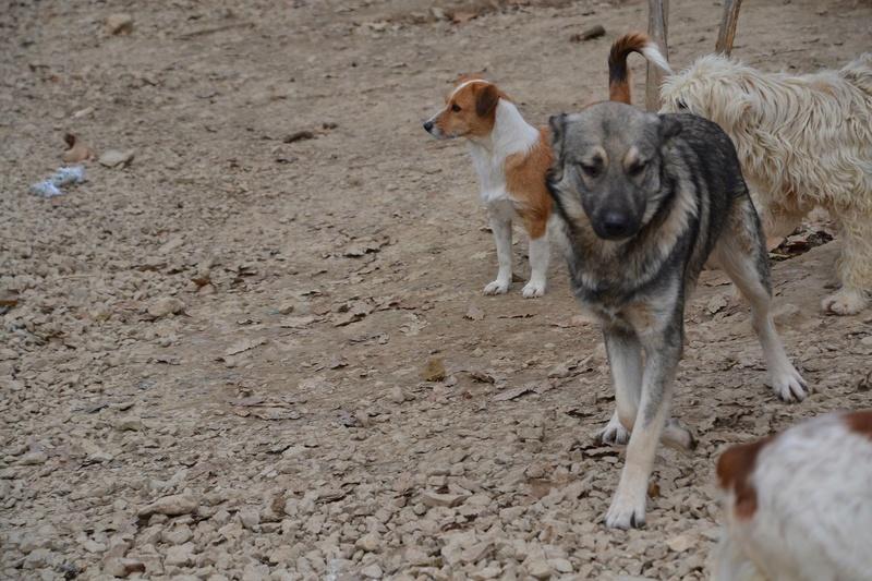 STARK superbe croisé chien loup tchécoslovaque - SERBIE 23224711