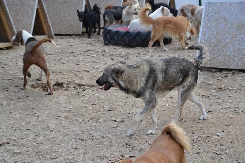 STARK superbe croisé chien loup tchécoslovaque - SERBIE 23224810