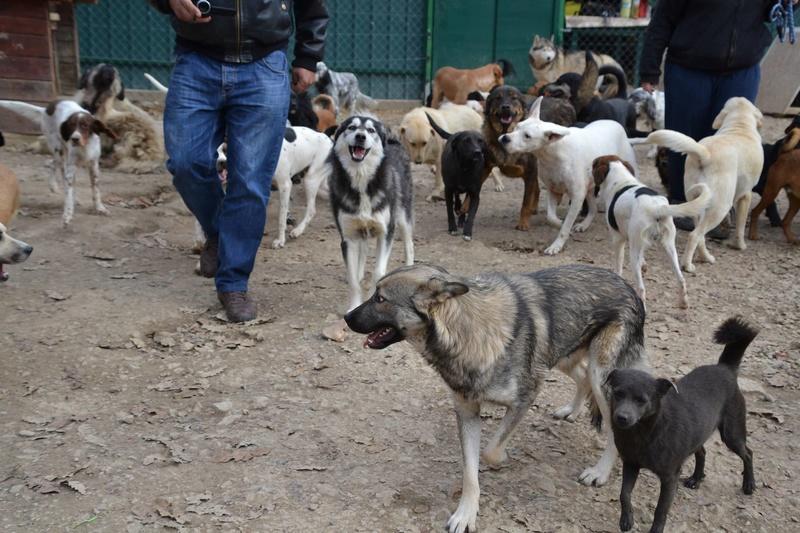 STARK superbe croisé chien loup tchécoslovaque - SERBIE 23224811