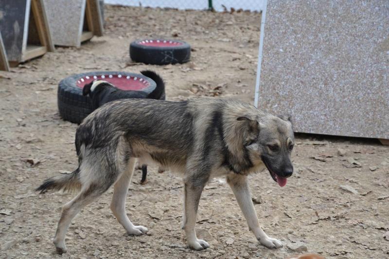 STARK superbe croisé chien loup tchécoslovaque - SERBIE 23261810