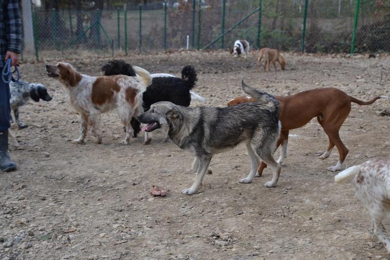 STARK superbe croisé chien loup tchécoslovaque - SERBIE 23261910