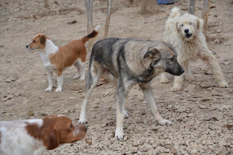 STARK superbe croisé chien loup tchécoslovaque - SERBIE 23261911