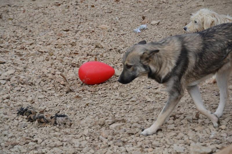 STARK superbe croisé chien loup tchécoslovaque - SERBIE 23262011
