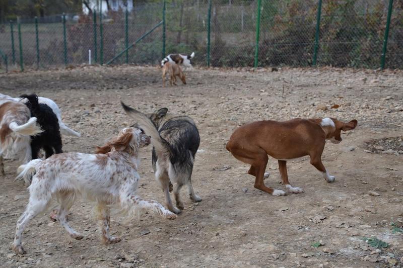 STARK superbe croisé chien loup tchécoslovaque - SERBIE 23269610