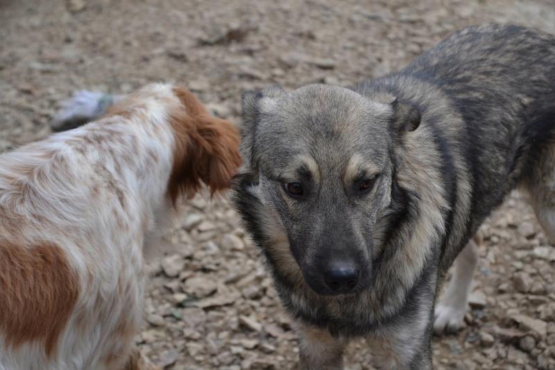 STARK superbe croisé chien loup tchécoslovaque - SERBIE 23313010