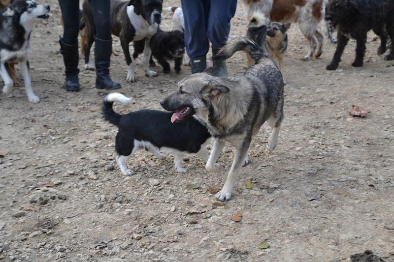 STARK superbe croisé chien loup tchécoslovaque - SERBIE 23313011