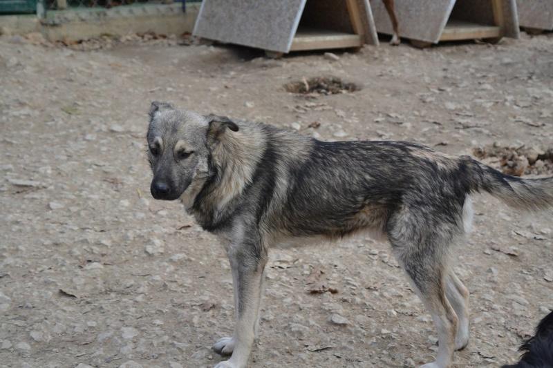 STARK superbe croisé chien loup tchécoslovaque - SERBIE 23314110