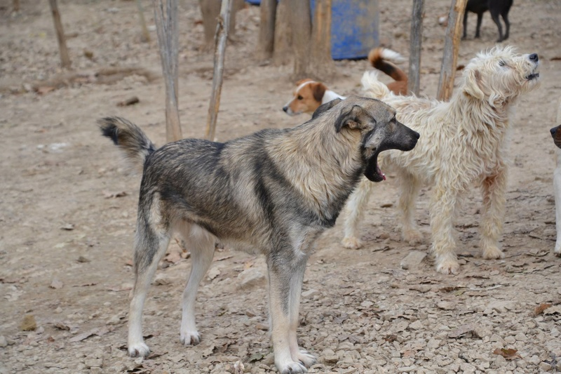 STARK superbe croisé chien loup tchécoslovaque - SERBIE 23314210