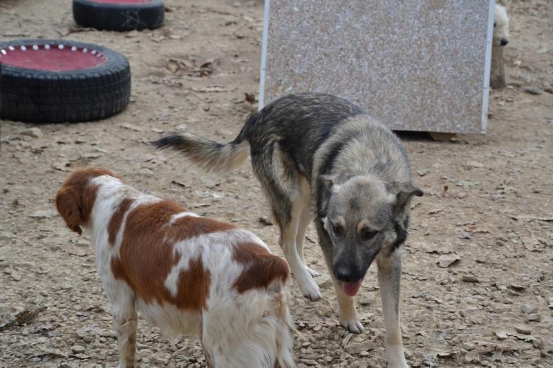 STARK superbe croisé chien loup tchécoslovaque - SERBIE 23335510