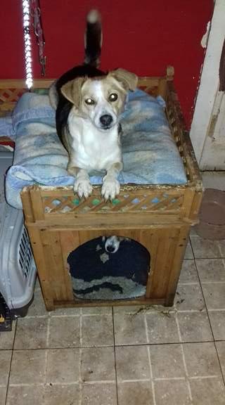 CINCA une petite chienne adorable - SERBIE 24203710