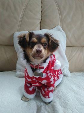 CHOUPETTE un petit chien de poche ! - BULGARIE 25593810