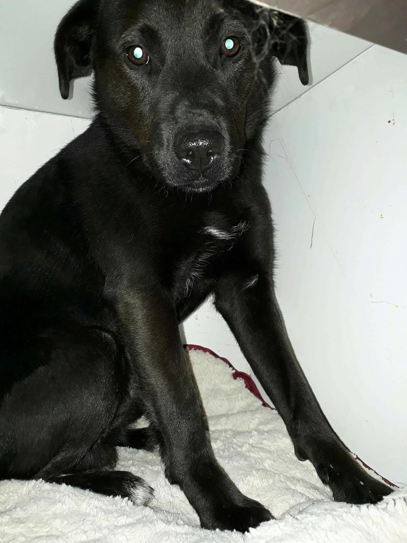 JONNY magnifique croisé labrador noir - en FA dpt 67  28695710