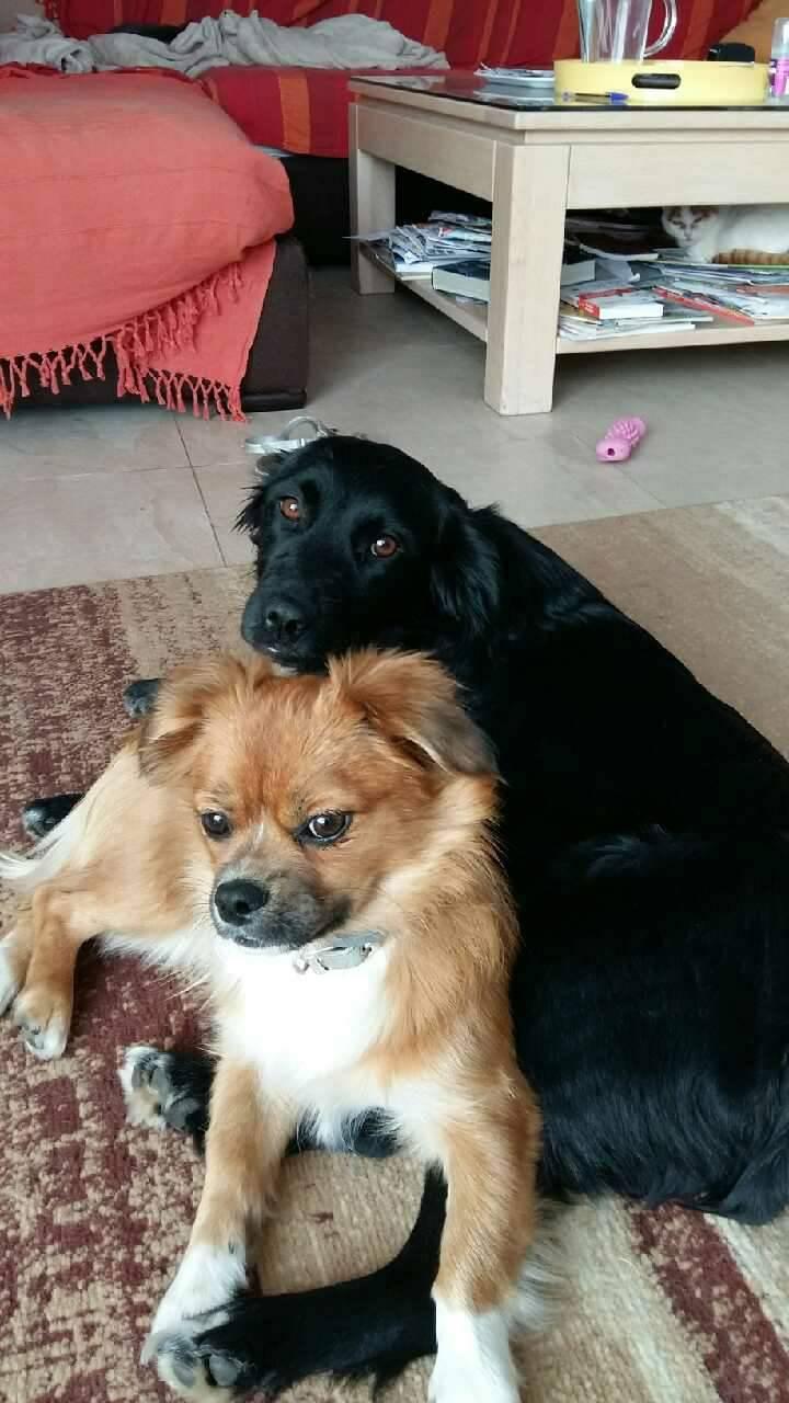 JONNY magnifique croisé labrador noir - en FA dpt 67  28754710