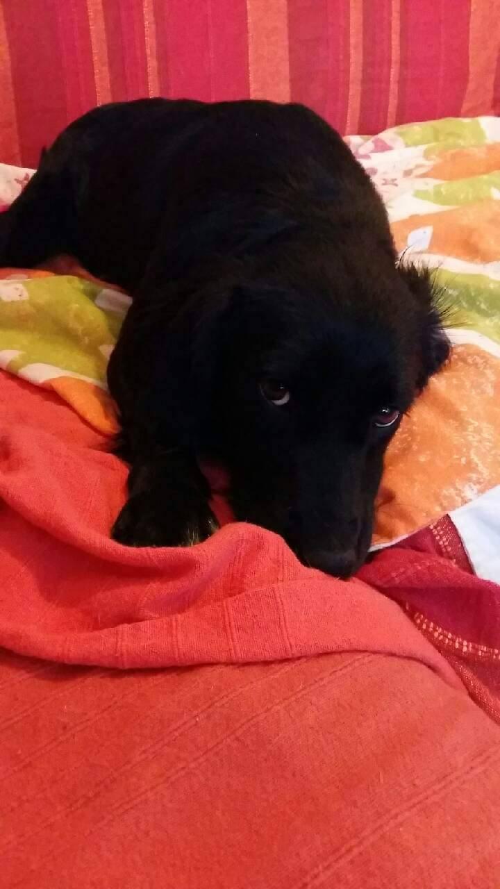 JONNY magnifique croisé labrador noir - en FA dpt 67  28754910