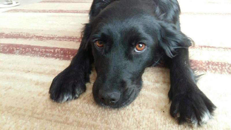 JONNY magnifique croisé labrador noir - en FA dpt 67  28755310