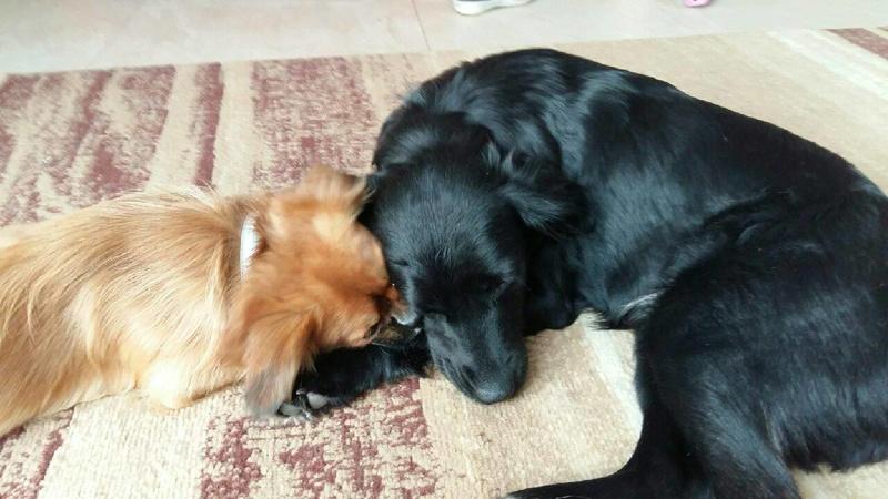 JONNY magnifique croisé labrador noir - en FA dpt 67  28768510
