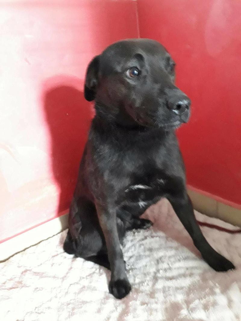 JONNY magnifique croisé labrador noir - en FA dpt 67  28822610