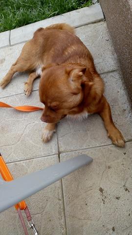CARLI adorable petit chien - BULGARIE 29745410