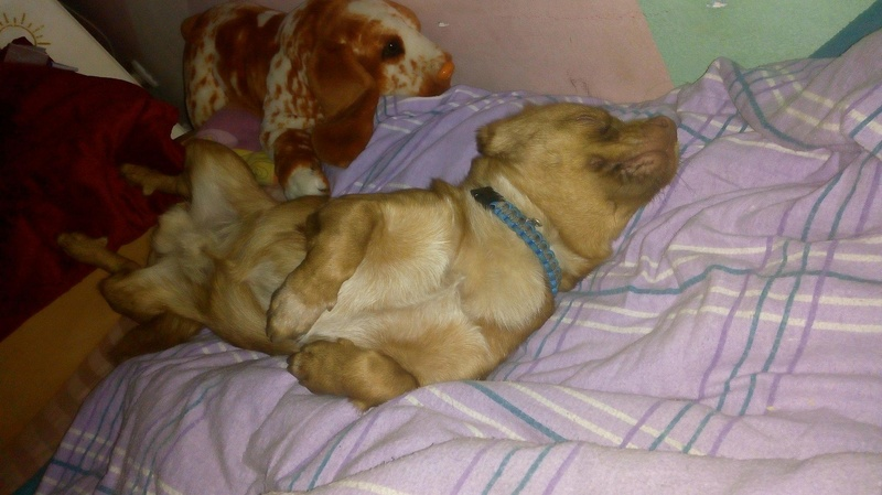 CARLI adorable petit chien - BULGARIE 29749210
