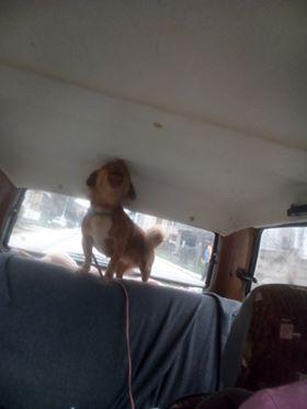 CARLI adorable petit chien - BULGARIE 29852710