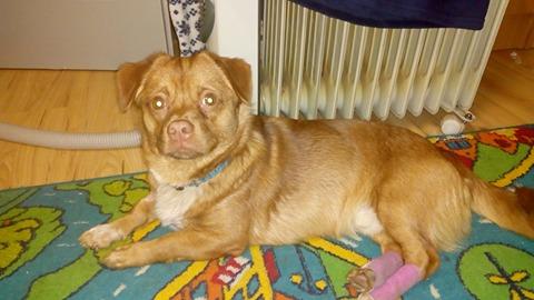 CARLI adorable petit chien - BULGARIE 30007611