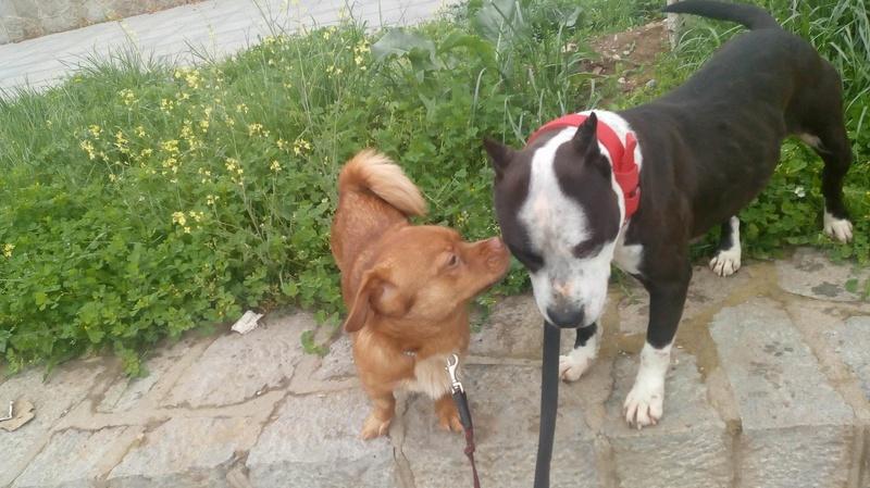 CARLI adorable petit chien - BULGARIE 30705410