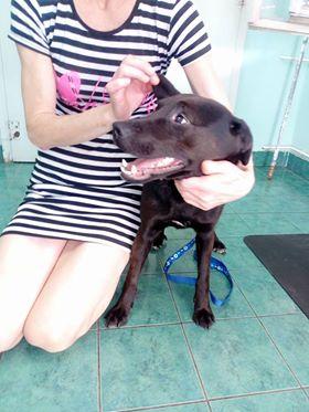 JONNY magnifique croisé labrador noir - en FA dpt 67  30875110