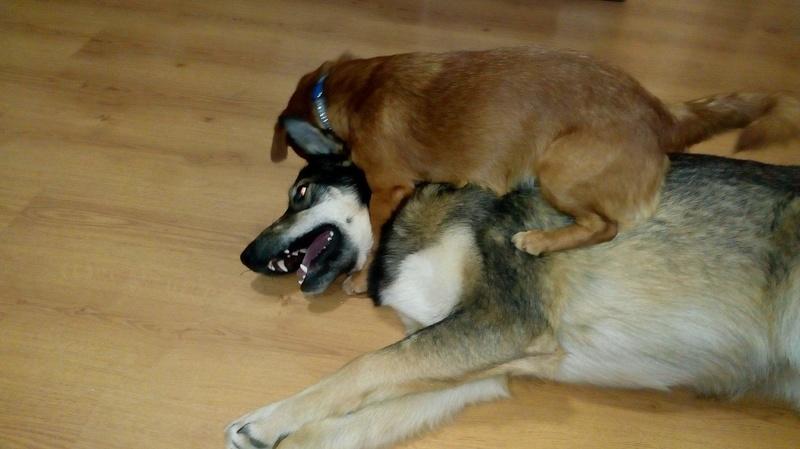 CARLI adorable petit chien - BULGARIE 31059410