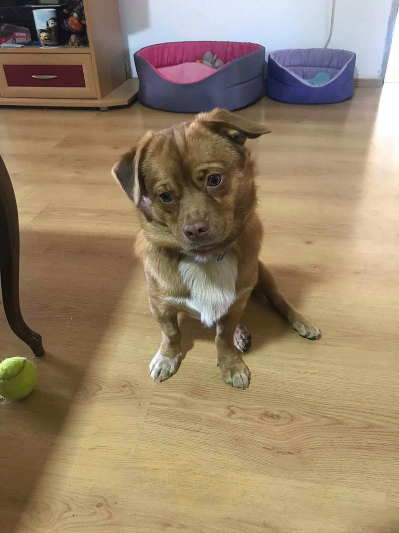 CARLI adorable petit chien - BULGARIE 31453810