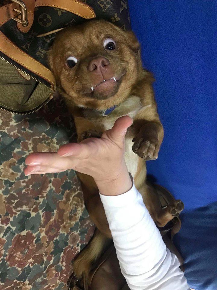 CARLI adorable petit chien - BULGARIE 31655610