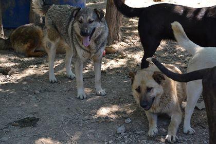 STARK superbe croisé chien loup tchécoslovaque - SERBIE 32086010