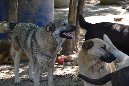 STARK superbe croisé chien loup tchécoslovaque - SERBIE 32089410