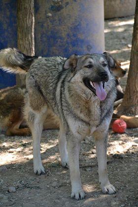 STARK superbe croisé chien loup tchécoslovaque - SERBIE 32231510