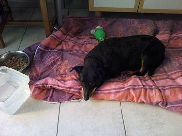 MICI (CRNKA) petite chienne des rues - SERBIE 32883711