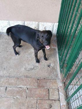 JONNY magnifique croisé labrador noir - en FA dpt 67  33204710