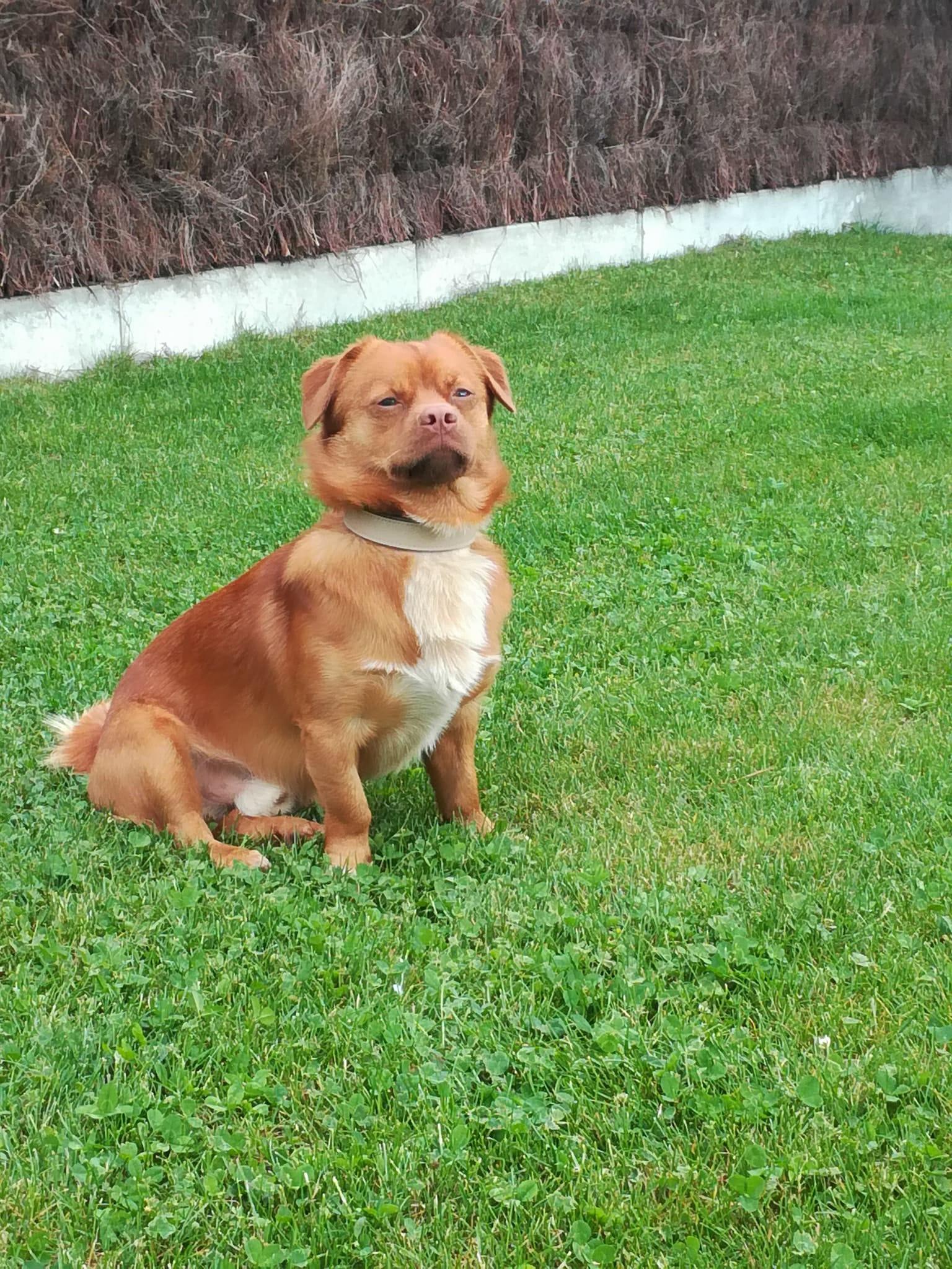 CARLI adorable petit chien - BULGARIE 33379510