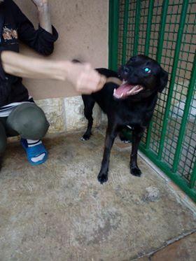 JONNY magnifique croisé labrador noir - en FA dpt 67  33442810