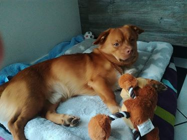 CARLI adorable petit chien - BULGARIE 34140910