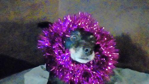 MICI (CRNKA) petite chienne des rues - SERBIE 47685310