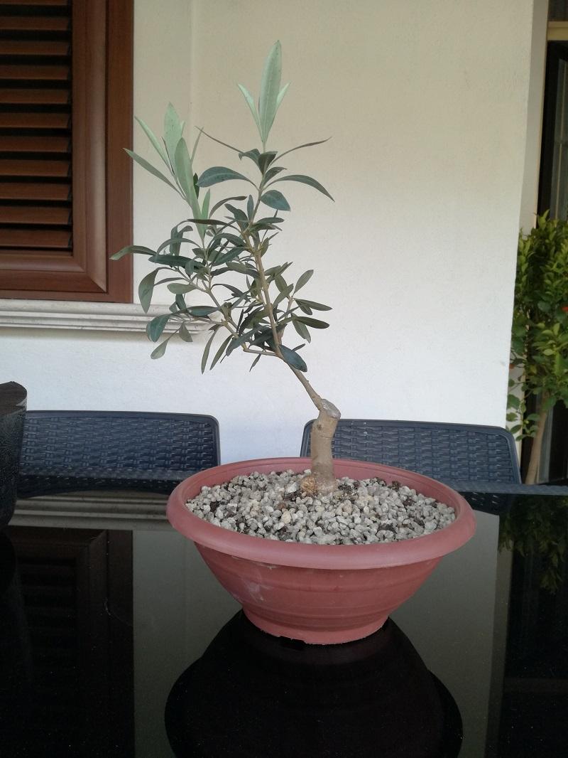 "primo ""bonsai"" di ulivo - Pagina 6 Img_2010"