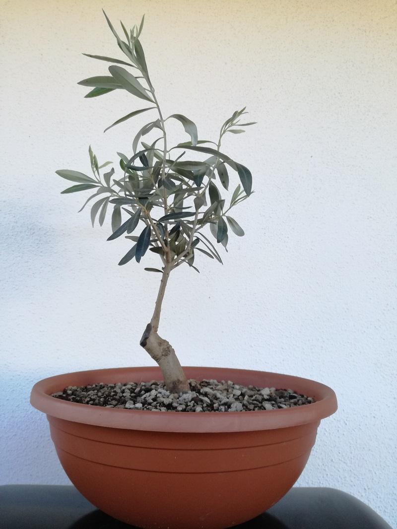"primo ""bonsai"" di ulivo - Pagina 6 Img_2015"