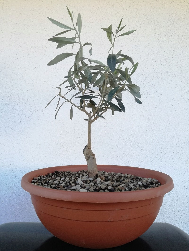 "primo ""bonsai"" di ulivo - Pagina 6 Img_2016"
