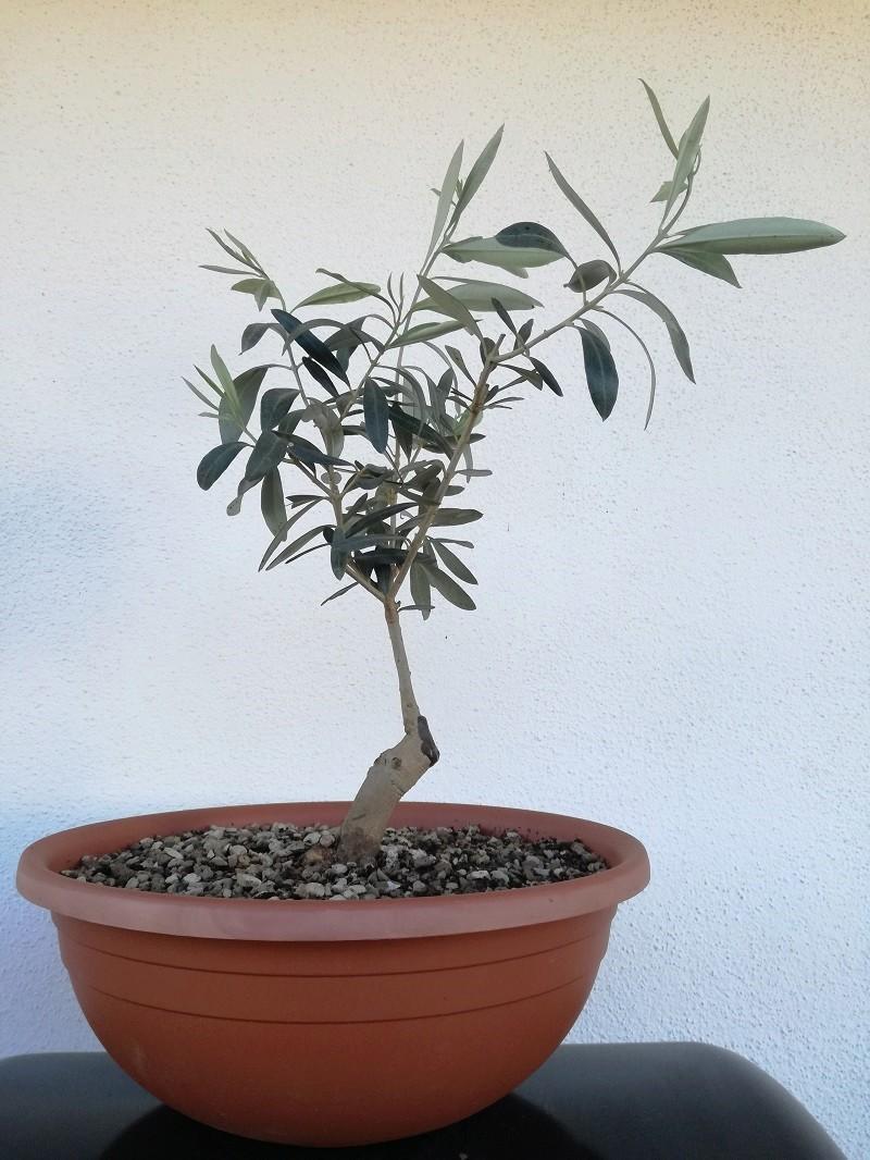 "primo ""bonsai"" di ulivo - Pagina 6 Img_2017"