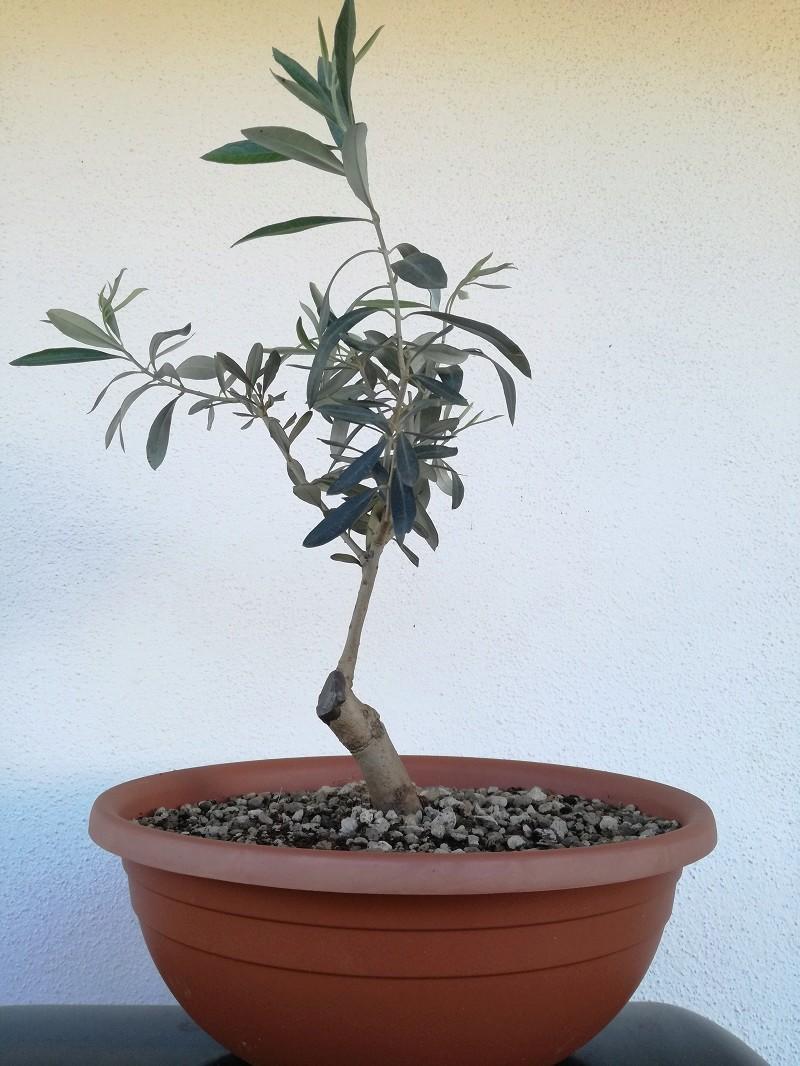 "primo ""bonsai"" di ulivo - Pagina 6 Img_2018"