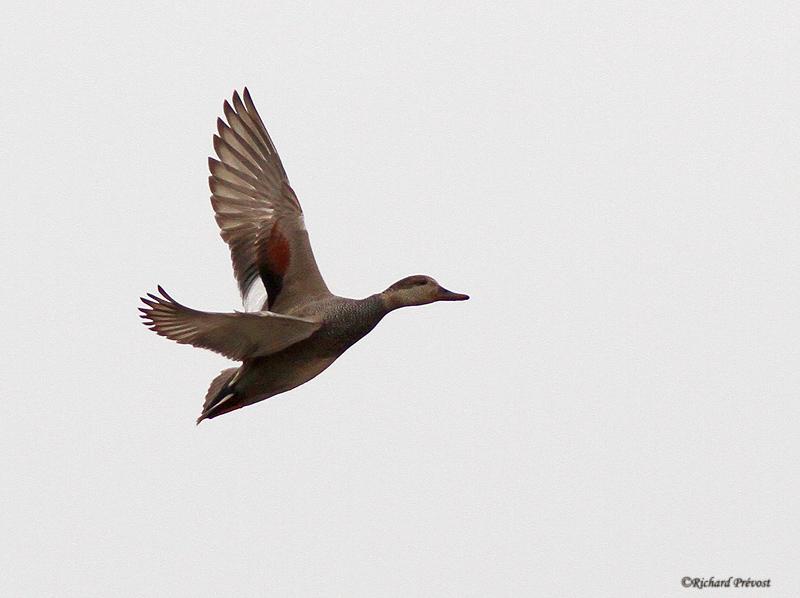 Canards en vol Canard10