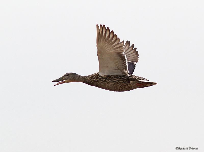 Canards en vol Canard11