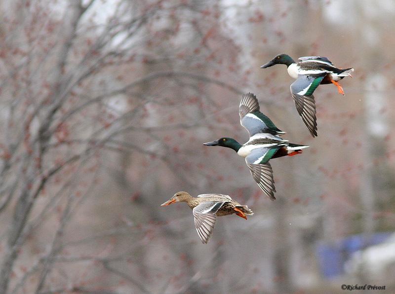 Canards en vol Canard13