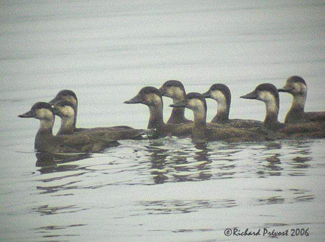 un canard plongeur incertain Macreu10