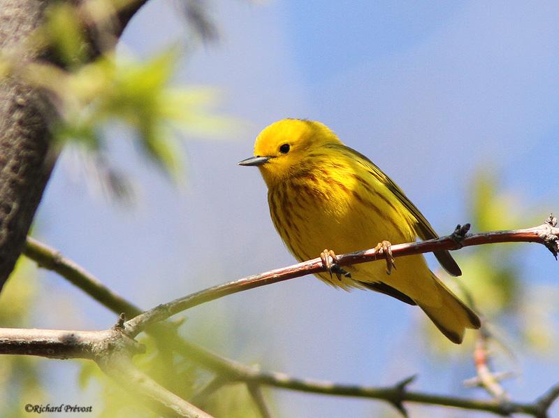 Paruline jaune Paruli12