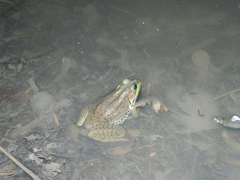 Frog in water Dscn1610
